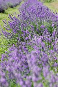 organic lavender fragrance