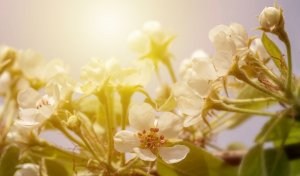 Pear Blossom Fragrance