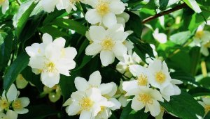 Jasmine In Scented Products