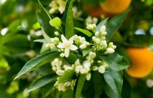 Yuzi Neroli Cedar Fragrance