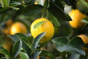 Genoa Lemon Alpha Aromatics Fragrance