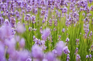 History of Lavender Essential Oil