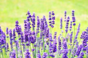 Lavender Scent In Detergents