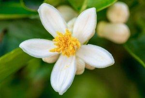 Litsea Orange Blossom Fragrance