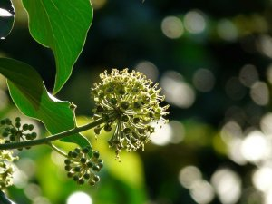 Ivy Blossom Amber Fragrance