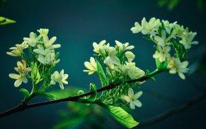 Unique Qualities of Jasmine