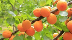 Wild Apricot Orchid Fragrance